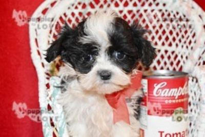 Poodle (Toy)-Shih Tzu Mix PUPPY FOR SALE ADN-102377 - MICRO TCUP SHIHPOO