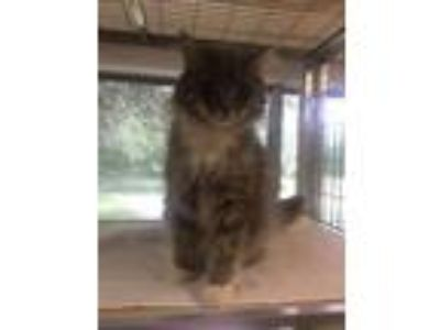 Adopt Rocco a Domestic Medium Hair, Domestic Short Hair