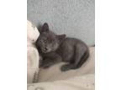 Adopt Emmitt a Gray or Blue Domestic Shorthair (short coat) cat in Toms River