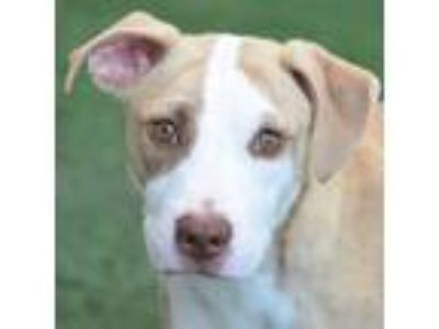 Adopt Strider a White - with Tan, Yellow or Fawn Pit Bull Terrier / Mixed dog in