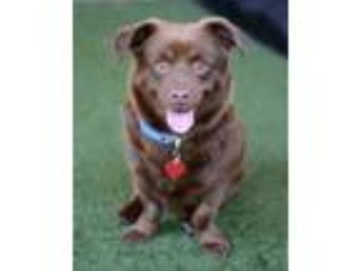 Adopt Fudge a Corgi / Labrador Retriever / Mixed dog in Novato, CA (25565708)