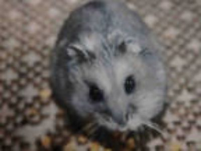 Adopt DELL a Tan or Beige Hamster / Mixed small animal in Chatsworth