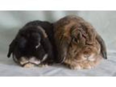 Adopt Midnight & Thumper a Holland Lop