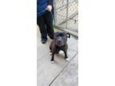 Adopt Tyson a Black - with White Pit Bull Terrier / Mixed dog in University