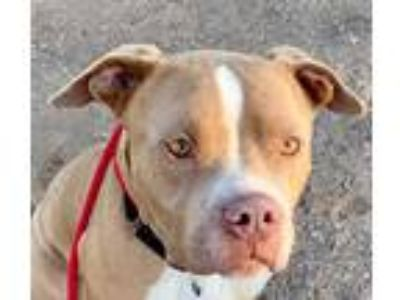 Adopt BOBBLE a Brown/Chocolate - with White American Pit Bull Terrier / Mixed