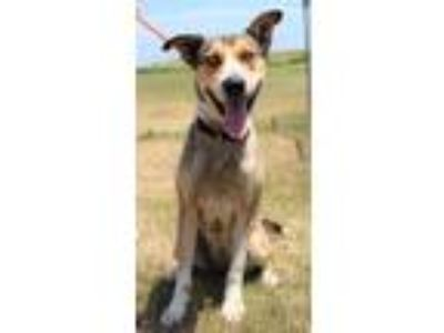 Adopt Lexus a Husky / Mixed dog in Abbeville, LA (25551221)