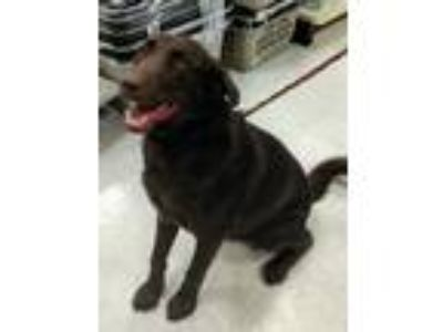 Adopt Grizz *Adoption Pending* a Brown/Chocolate Labrador Retriever / Mixed dog