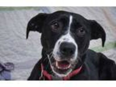 Adopt Kali a Black Labrador Retriever / American Pit Bull Terrier / Mixed dog in