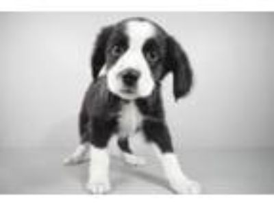 Adopt Lilly a Border Collie, Mixed Breed