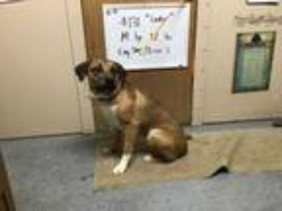 Adopt Lucky a English Shepherd, Boxer