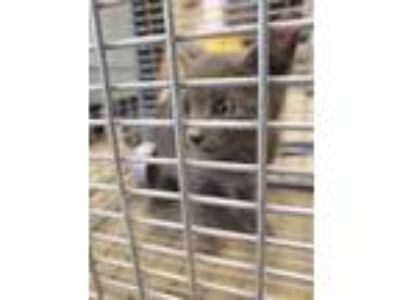 Adopt 42200446 a Gray or Blue Domestic Shorthair / Domestic Shorthair / Mixed