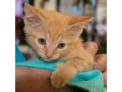 Adopt Ike a Orange or Red Domestic Shorthair / Mixed (short coat) cat in