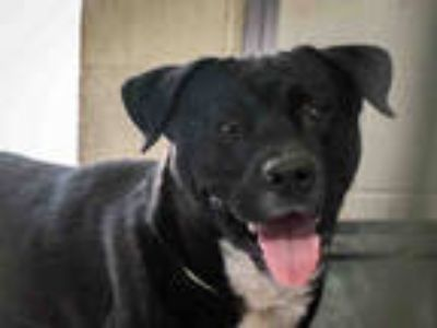 Adopt NEWTE a Black - with White American Pit Bull Terrier / Mixed dog in