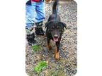 Adopt Ally a Black - with Tan, Yellow or Fawn German Shepherd Dog / Labrador