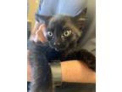 Adopt Gentry* a All Black Domestic Shorthair / Domestic Shorthair / Mixed cat in