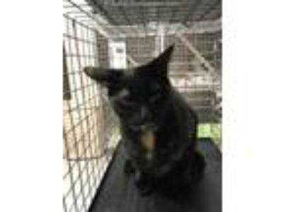 Adopt SALEM a All Black Domestic Shorthair / Mixed (short coat) cat in Conroe