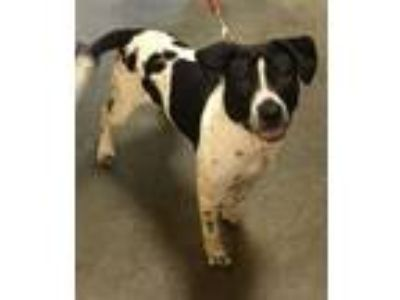 Adopt Scout a Pointer