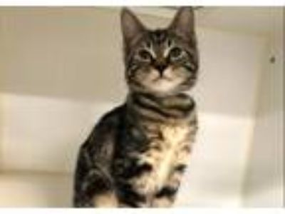 Adopt Mazda a Domestic Shorthair / Mixed cat in New York, NY (25889227)