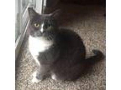 Adopt Bucket a Black & White or Tuxedo Domestic Shorthair / Mixed cat in