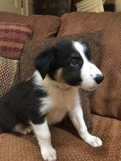 Border Collie PUPPY FOR SALE ADN-94439 - Male Border Collie Puppy