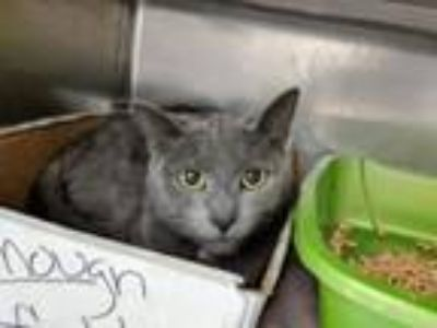 Adopt Raspberry a Domestic Short Hair