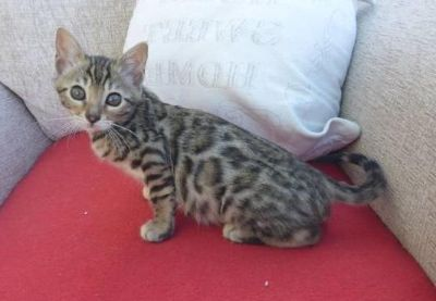 happy Bengal Kittens available