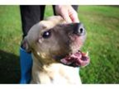 Adopt Demetri a White - with Tan, Yellow or Fawn American Staffordshire Terrier