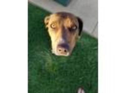 Adopt Stella a Cattle Dog, Labrador Retriever