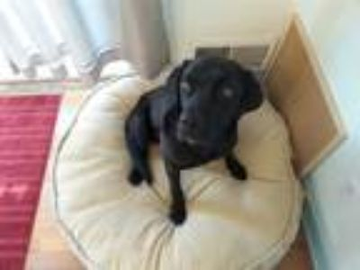 Adopt Slugger a Black Labrador Retriever / Mixed dog in Evergreen, CO (22361738)