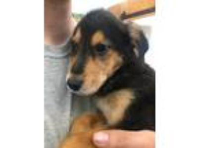 Adopt BonJovi - pending adoption a Brown/Chocolate - with Tan Hound (Unknown