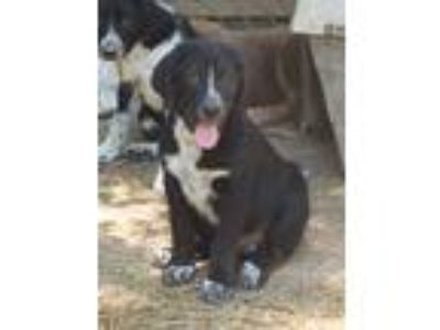 Adopt Boomer a Black - with White Border Collie / Labrador Retriever / Mixed dog