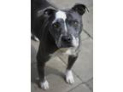 Adopt Petunia - needs a hospice home a Pit Bull Terrier