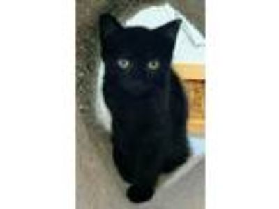 Adopt Nox a Domestic Short Hair