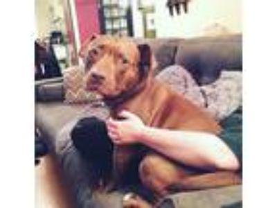 Adopt Jolene a Red/Golden/Orange/Chestnut American Pit Bull Terrier / Mixed dog
