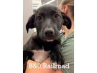 Adopt B. & O. Railroad a Beagle, Labrador Retriever