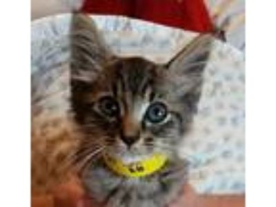 Adopt 42170087 a Gray or Blue Domestic Shorthair / Domestic Shorthair / Mixed
