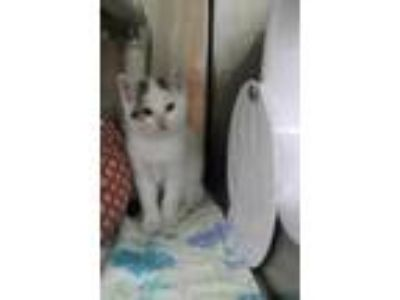Adopt Abe a White Domestic Shorthair / Domestic Shorthair / Mixed cat in