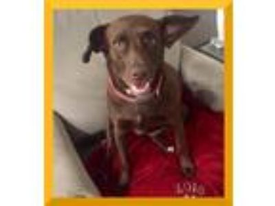 Adopt Lucy [Kleur Mama] a Brown/Chocolate Labrador Retriever / Mixed dog in