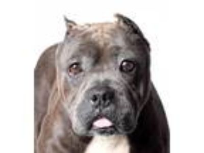 Adopt Libby a Gray/Silver/Salt & Pepper - with White Pit Bull Terrier / Mixed