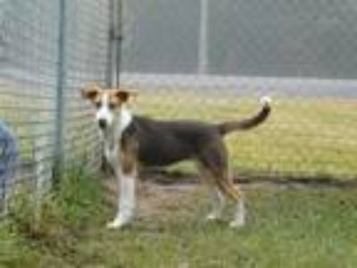 Adopt Winnie a Tricolor (Tan/Brown & Black & White) Hound (Unknown Type) / Mixed
