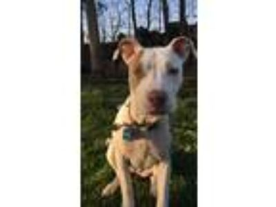 Adopt Bella a White - with Brown or Chocolate American Pit Bull Terrier dog in