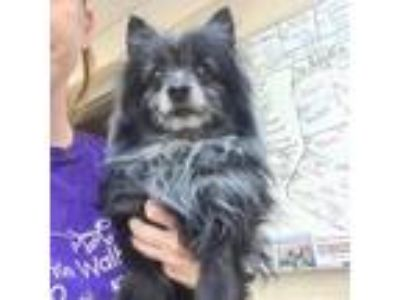 Adopt Friday a Black Pomeranian / Terrier (Unknown Type, Small) dog in