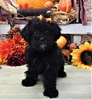 Poodle (Toy)-Shih Tzu Mix PUPPY FOR SALE ADN-96489 - ShihPoo Puppy