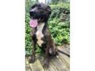 Adopt Flying Roscoe a Mastiff, Boxer