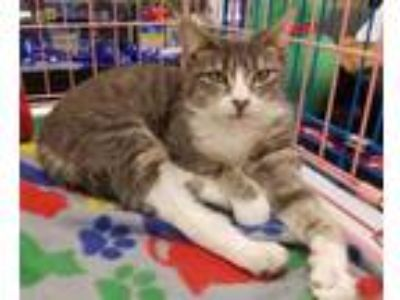 Adopt Tinsel a Domestic Short Hair