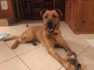 Adopt Nino a German Shepherd Dog / Labrador Retriever / Mixed dog in Deerfield