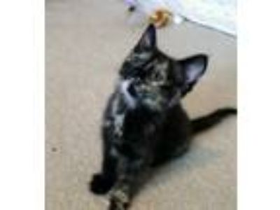 Adopt Lightning Kitten a Domestic Shorthair / Mixed (short coat) cat in