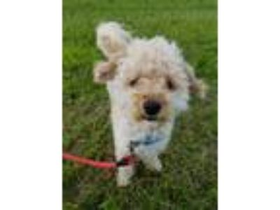 Adopt Mars a Poodle