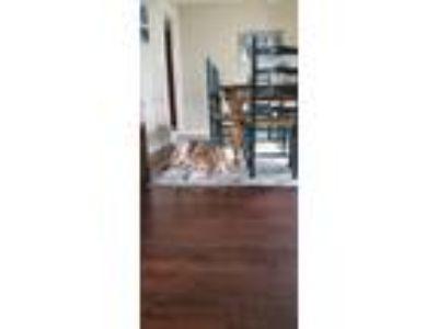 Adopt Grady a Tan/Yellow/Fawn - with White Labrador Retriever / Mixed dog in