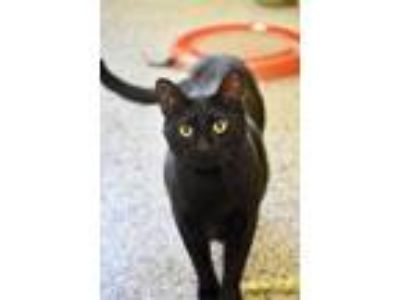 Adopt Christopher Houston a Domestic Short Hair